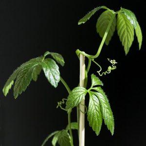Jiaogulan Unsterblichkeitskraut - Gynostemma pentaphyllum