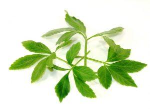 Jiaogulan chinesische Heilpflanze