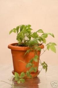 Koenigsheilkraeuter- Jiaogulan-Pflanze